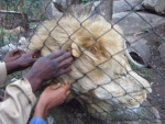 Petting a lion (Day 10- Zimbabwe)