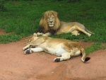At the Lion Park (Day 10- Zimbabwe)