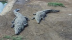 African Crocodiles (Day 11-14)