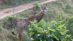 Beautiful baby giraffe we spotted while on safari in Durban (Day 11-14)